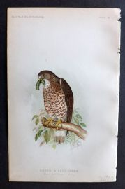 Ridgway 1893 American Bird Print. Broad Winged Hawk 10